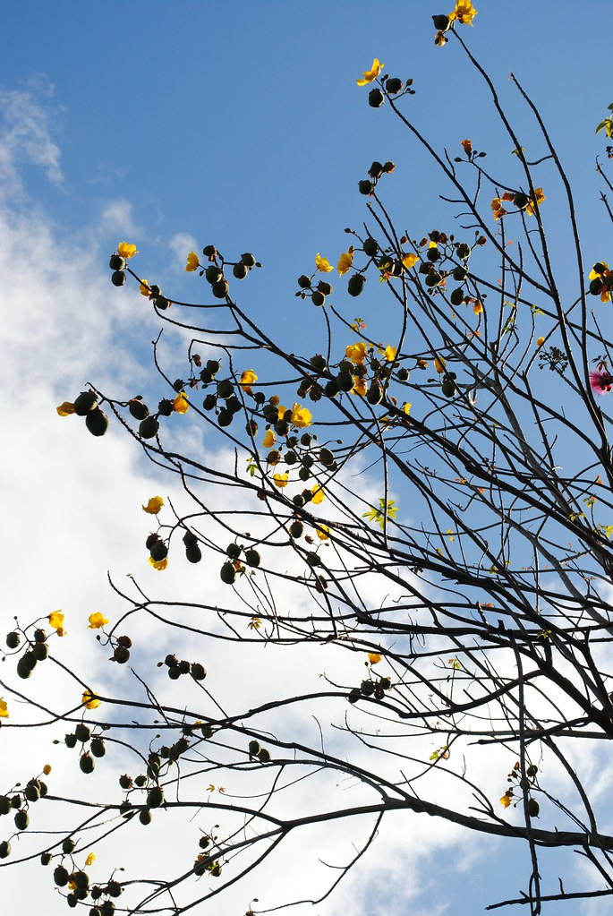the brilliant golden flowers of the buttercup tree are exp