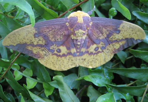 Imperial moth found in a gas station planter box in Riner, Virginia