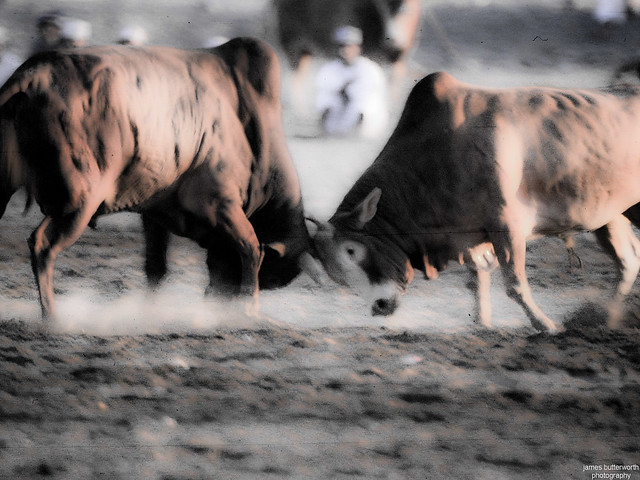 Bull Fighting in Oman