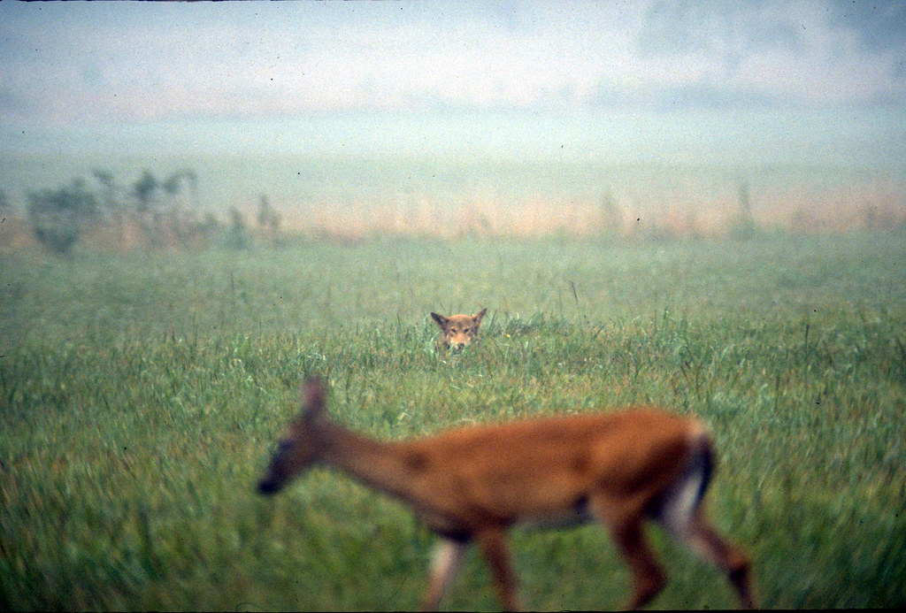 Red wolf watching deer at Cades Cove - Great Smoky Mountai