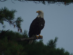 Bald Eagle, Potawatomi SP, WI