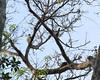 Leucopternis kuhli  :: White-browed Hawk by Frederico Pereira PhotoNatural