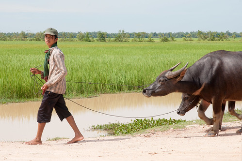 A Man walking with his buffaloes | by Chea Phal
