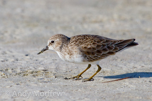 Least Sandpiper | by Andy Morffew