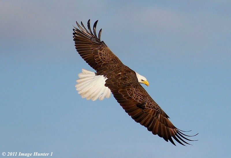 American Bald Eagle Lake Martin Louisiana Image Hunter 1 Flickr
