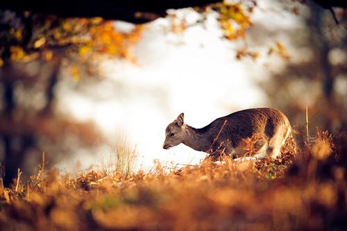 morning autumn trees england sun nature forest sunrise golden kent woods nikon bokeh wildlife deer f28 d3 400mm