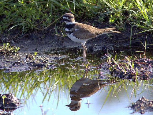 Killdeer 20111122
