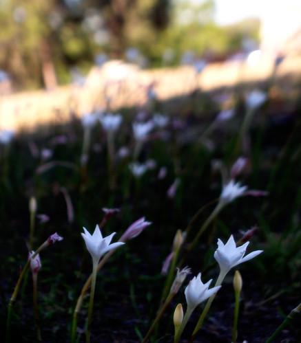 flowers flower beautiful soft pretty afternoon dof depthoffield shade depth softlight softer rainlily rainlilies softerstill shadymeadow