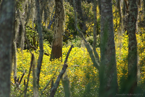 flowers trees yellow louisiana swamp cypress luling