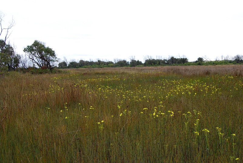 Ornduffia reniformis Winifred Curtis Reserve