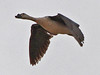 Comb Duck, Liwonde (Malawi), 27-May-11 by Dave Appleton