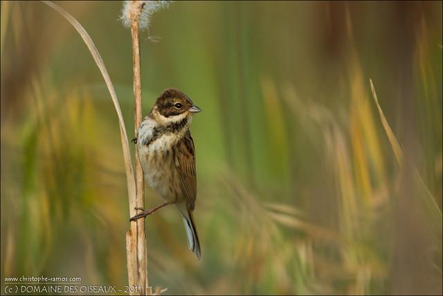 Bruant des roseaux - Emberiza schoeniclus (Domaine des Oiseaux, Mazères Ariège 09) 30-Oct-2011#02