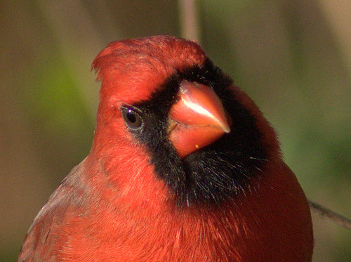 Northern Cardinal close 20111104
