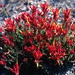 Castilleja rhizomata N.H. Holmgren