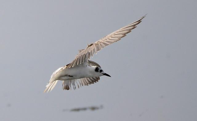White-winged Tern (Chlidonias leucopterus) N BR