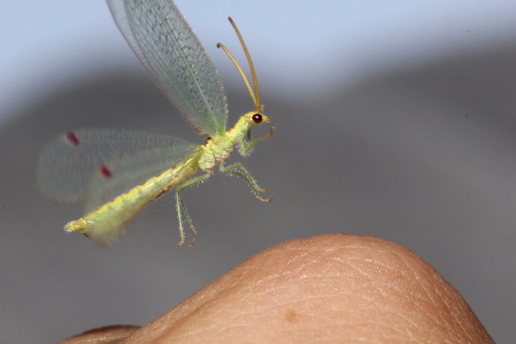 Unknown Lacewing