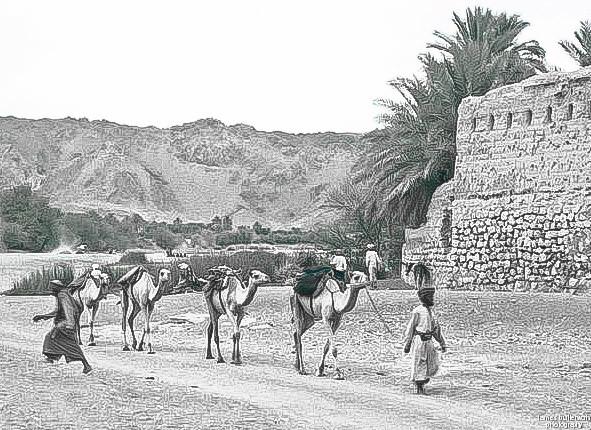 Camel Train Nizwa Oman 1961