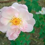 ピーチ ブロッサム(Peach Blossom)