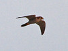 Red-necked Falcon, Liwonde (Malawi), 27-May-11 by Dave Appleton