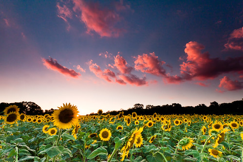 pink blue sunset red summer orange white green field yellow landscape farm bad maryland sunflower mckeebeshers leefilters hitechfilters goodbyesummerhellowinter