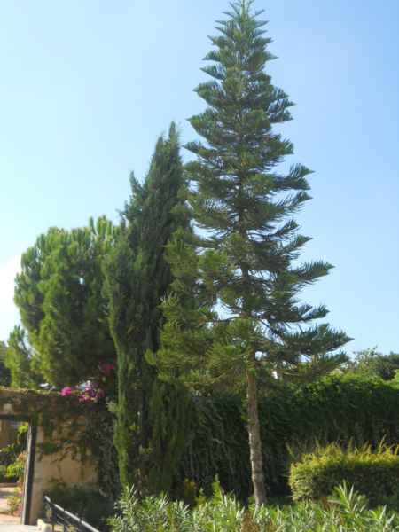 Araucaria y ciprés