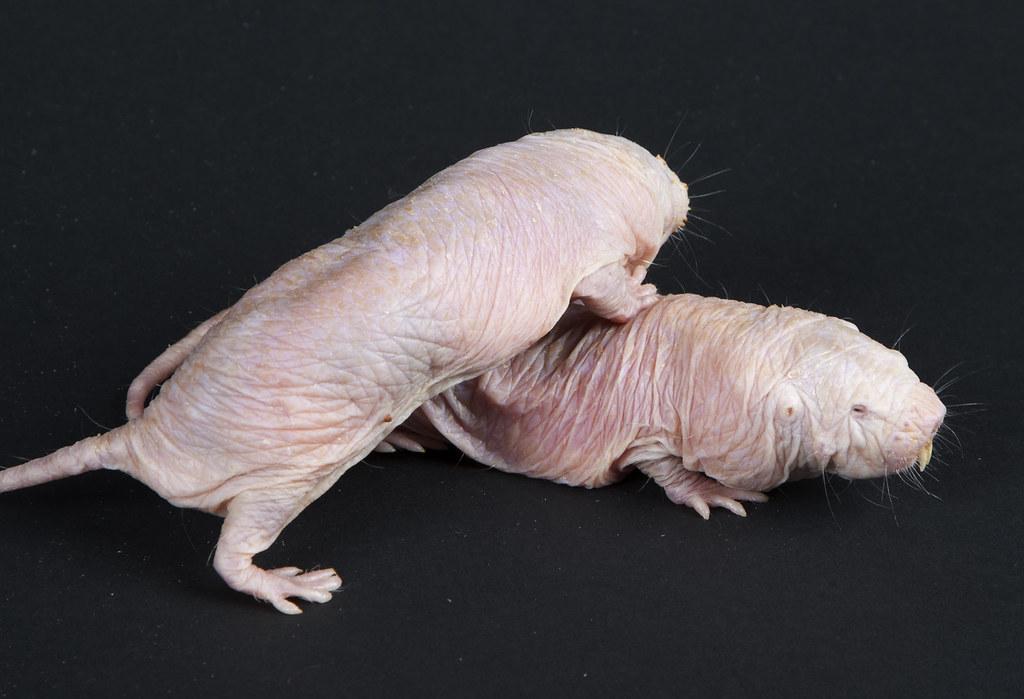 Naked mole