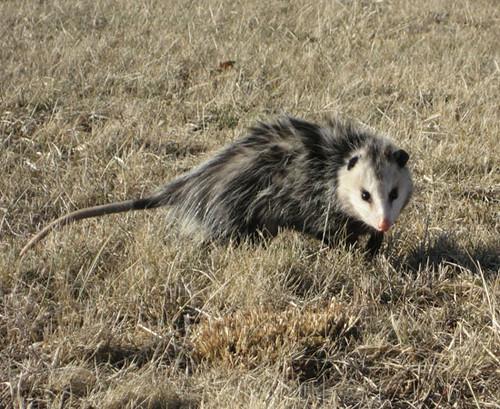 Opossum walking the edge of the Blue Ridge Parkway