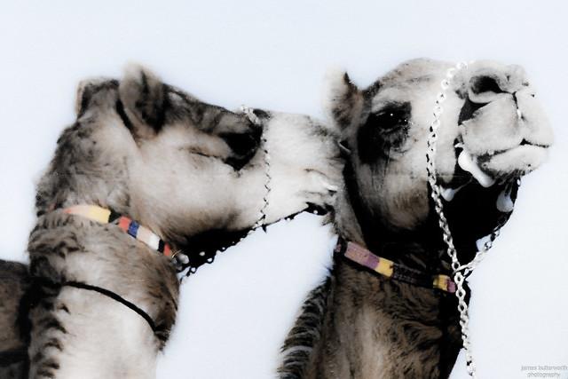 Whispering Camel Oman