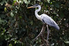 Cocoi Heron (Ardea cocoi) by Ron Winkler nature