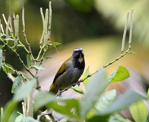 Saltator maximus / Buff-throated Saltator | by LeShello