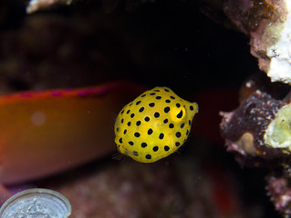 Juvenile Yellow Boxfish - Ostracion cubicus | by prilfish