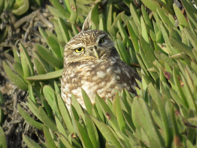 Burrowing Owl in the Hottentot Fig
