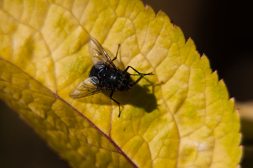 Fly cleaning its legs