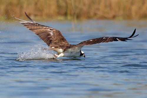 nature birds texas wildlife birding pasadena osprey kayakphotography gseloff horsepenbayou galvestonbayestuary