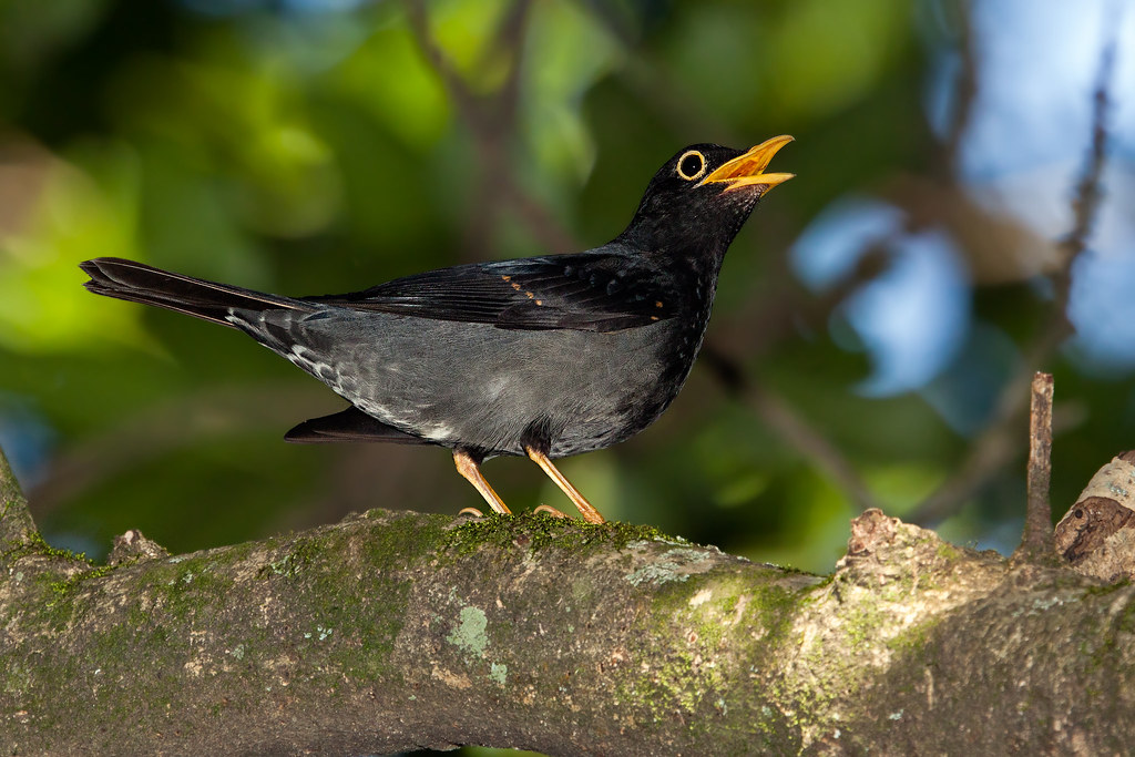 Yellow-legged Thrush 1