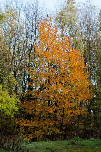 Cherry tree, autumn