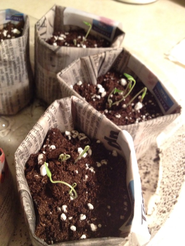 Tomato seedlings are already sprouting!