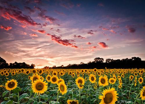 blue sunset sky orange white green field yellow clouds dark maryland sunflower potomac allyouneedislove mckeebeshers leehitechfilters mosquitoesbleedingmedryatthemoment