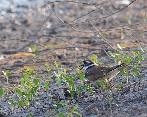 Killdeer (<I>Charadrius vociferus</I>), Santa Ana National Wildlife Refuge, Texas | by VSmithUK