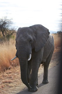 Elephant | by RachelF2SEA
