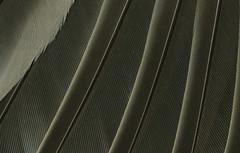 Thrush primary feathers