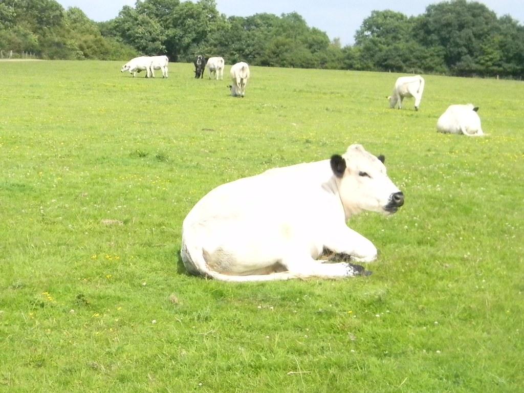 White cow Pulborough Circular