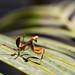 Praying Mantis - Strike a pose.
