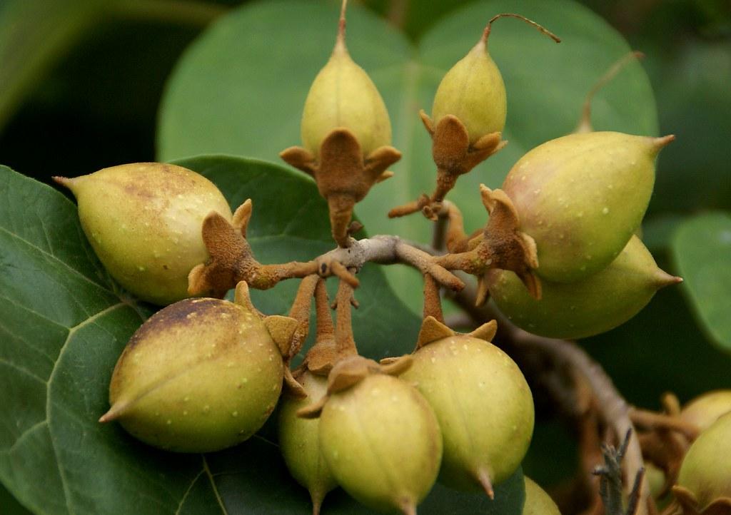 Risultato immagini per frutti di paulownia