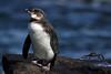 Galapagos Penguin 2 by rhysmarsh