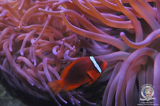 Clown fish-3 | by keywest aquarium