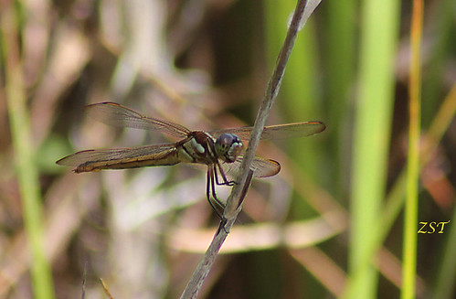 usa insect raw florida dragonfly clermont lakelouisastatepark yellowsidedskimmer libellulaflavida canon7d zeesstof tamron75300telemacro