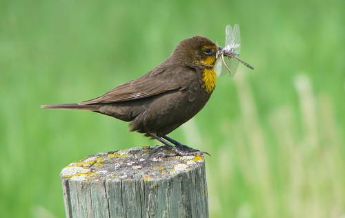 canada bc yellowheadedblackbird xanthocephalusxanthocephalus rockcreekbc yellowheadedblackbirdrockcreek