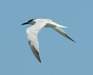 Sandwich Tern (<I>Thalasseus sandvicensis</I>), South Padre Island, Texas | by VSmithUK
