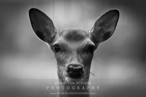 portrait bw animal deer orte reh mönchengladbach blackdiamond canon70200f28l flickraward spiritofphotography flickraward5 flickrawardgallery artistoftheyearlevel3 artistoftheyearlevel4